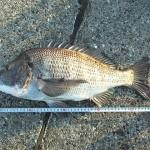 黒鯛(チヌ)の紀州釣り - ウキなし