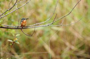 野鳥と放置釣り糸