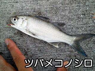>ツバメコノシロ&#8221; width=&#8221;320&#8243; height=&#8221;240&#8243; class=&#8221;aligncenter size-full wp-image-1608&#8243; /></p> <p>写真の通り、サビキに掛かりました。<br /> 管理人は初めて目にする魚です。<br /> 南日本、インド洋、西太平洋の内湾の砂泥域にすむ魚です。<br /> とにかく、和歌山で掛かる魚の種類は豊富です。<br /> 何年通っていても初めて掛かる魚ってあるものです。<br /> (御坊市 日高港)</p> <h5><span id=