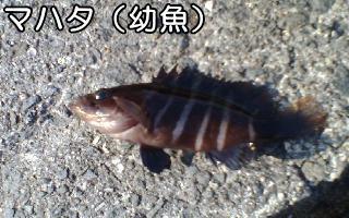 マハタ(幼魚)
