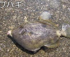 外道魚(ポピュラー)TOP写真