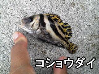 コショウダイ(幼魚)