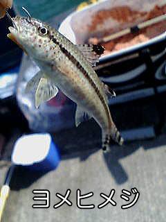 >ヨメヒメジ&#8221; width=&#8221;240&#8243; height=&#8221;320&#8243; class=&#8221;aligncenter size-full wp-image-1641&#8243; /><br /> 海のドジョウといった風貌の魚です。<br /> 12cm程の小さな魚で、南日本の太平洋からインドまで生息するそうです。<br /> 例によってオキアミに食いつきました。<br /> (那智勝浦町 防波堤)</p> <h5>ギマ</h5> <p><img src=