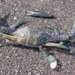 渡り蟹(ワタリガニ)釣り