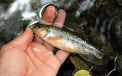 清流の脈釣り…オイカワ・ウグイ 他