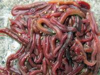 チロリ(砂虫)