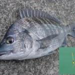 黒鯛(チヌ)のウキ釣り