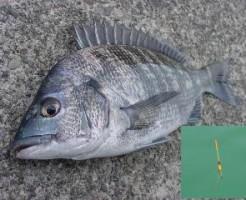 黒鯛のウキフカセ釣りTOP写真