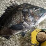 黒鯛(チヌ)の紀州釣り - ウキあり