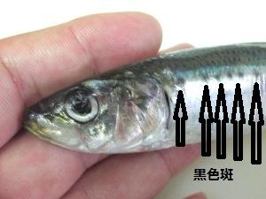 2_マイワシ拡大300x225