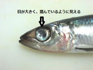 4_ウルメイワシ拡大300x225