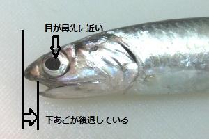 6_カタクチイワシ拡大300x200