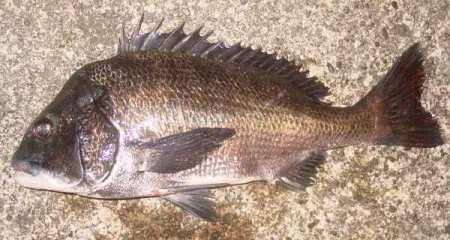 チヌの成魚