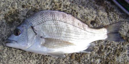 チヌの幼魚