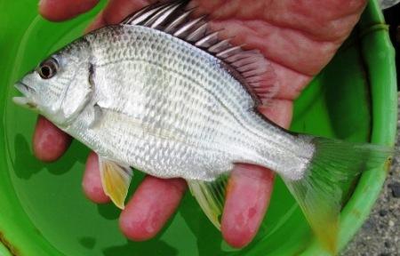 キビレの幼魚