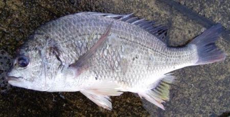 キビレの成魚(比較)