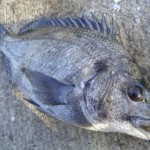チヌ(黒鯛)とキビレ(キチヌ)の見分け方