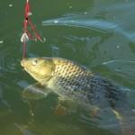 野鯉の吸い込み釣り