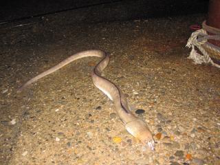 ホタテウミヘビ1