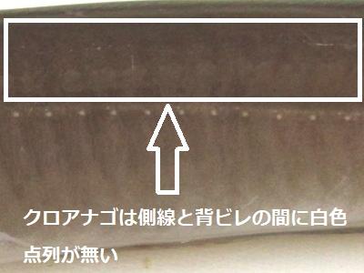 側線と背ビレの間に白色点列無(クロアナゴ)