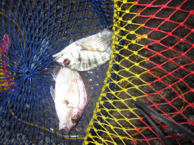 スカリに入れた魚