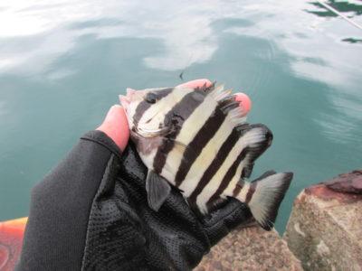 フィッシンググローブと石鯛の幼魚