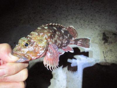 釣れたカサゴ(ガシラ)