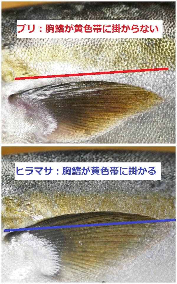 ブリとヒラマサの胸鰭と帯比較