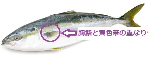 ポイント指図胸鰭と黄色帯
